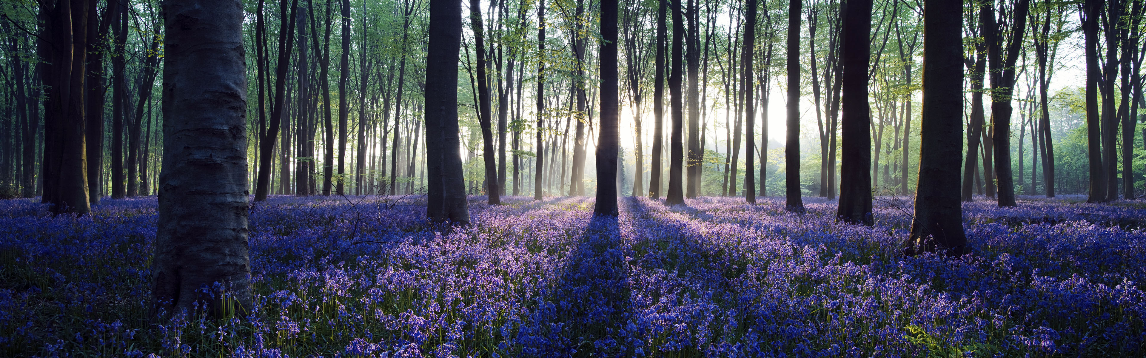 Dawn in bluebell woodland (Hyacinthoides non-scripta), Hampshire, England, U.K.